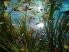 Фото в Рыбки (Аквариумистика) Аквариумные рыбки Продам аквариумных рыбок гуппи своего разведения. в Мытищи 50
