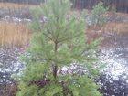 Скачать бесплатно изображение  Предлагаем большой выбор живых зелёных новогодних елок сосен 34108383 в Городище