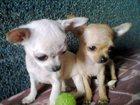 Фотография в   Чихуахуа щеночки, красивый окрас, родословная, в Москве 0