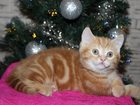 Изображение в Кошки и котята Вязка Продается шотландский котенок редкого, очень в Москве 20000