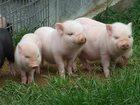 Увидеть фотографию Детская мебель Комбикорм Стартер для свиней Пурина 34164358 в Воронеже