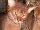 Foto в Кошки и котята Вязка Молодой клубный зеленоглазый кот яркого дикого в Москве 3500