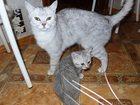 Фотография в   отдам котенка в добрые и хорошие руки. пол- в Климовске 1