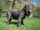 Изображение в Собаки и щенки Продажа собак, щенков Неаполитанский мастиф породный кобель для в Москве 25000