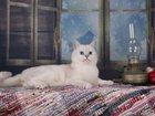 Фотография в   Голубоглазый Кот JERRY OLS KARAT породы шотландская в Москве 10000