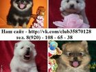 Фото в Собаки и щенки Продажа собак, щенков ШПИЦА чистокровных и не чистокровных щеночков, в Москве 0