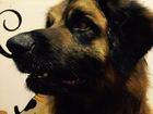 Фото в Собаки и щенки Вязка собак Красивый кобель леонбергер, приглашает на в Москве 0