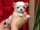 Изображение в Домашние животные Растения Чихуахуа очень красивый мальчишка, возраст в Москве 16000