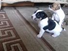 Фотография в Собаки и щенки Продажа собак, щенков Продам щенка. Дата рождения 08. 03. 2016. в Москве 10000