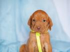 Фотография в   Продаются щенки Венгерской легавой д. р. в Москве 40000