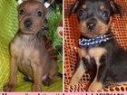 Изображение в Собаки и щенки Продажа собак, щенков Продаю чистокровных щенков Карликового Пинчера в Москве 9000