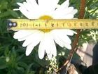 Изображение в   ромашка садовая Нивяник Срезка 15 р в Москве. в Москве 0