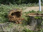 Уникальное фотографию Другие строительные услуги Удалить или кронировать дерево, выкорчевать пень в день заявки 36755566 в Москве