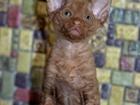 Фотография в Кошки и котята Продажа кошек и котят Очаровательный малыш из Челябинского питомника в Питере 22000