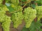 Изображение в   Производитель реализует крымский виноград в Симферополь 1