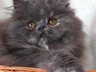 Фотография в Кошки и котята Продажа кошек и котят Домашний питомник предлагает персидскую голубокремовую в Москве 6000