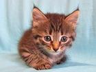 Фото в   Очаровательный котенок Тёма, пушистый полосатик в Москве 0