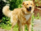 Уникальное фото  Ищет дом молодой и невероятно красивый пес Рыж! 37207981 в Москве