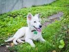 Фото в   Белый щенок с веснушками на мордочке, возраст в Москве 0