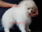 Фото в Собаки и щенки Вязка собак Питомник РКФ- FCI предлагает очаровательного в Москве 50000