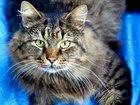 Изображение в   Кеша - роскошный кот в расцвете сил. Возраст в Москве 0