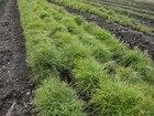 Фото в   Продаем (саженцы), сеянцы сосны (посадочный в Саратове 70