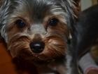 Фото в Собаки и щенки Вязка собак Кобель молодой (1, 5 года), развязанный, в Москве 2000