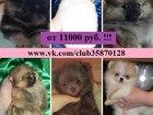 Фото в Собаки и щенки Продажа собак, щенков Продаются шикарные щеночки шпица! Чистокровные в Москве 0