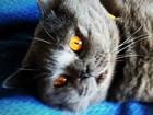 Фото в Кошки и котята Вязка Предлагаю вязку с опытным и красивым шотландским в Москве 0
