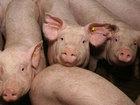 Фотография в Домашние животные Другие животные Фермерское хозяйство продает поросят, месячного в Москве 0