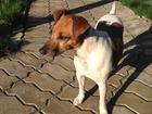 Фото в   Пропала собака породы Парсон Рассел терьер. в Москве 0