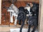 Фото в   Ищут дом 9 очаровательных щеночков, 6 мальчиков в Москве 0