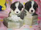 Изображение в Собаки и щенки Продажа собак, щенков Питомник Ормай для резервирования мальчики в Москве 55000