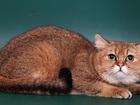Изображение в Кошки и котята Вязка Британский кот, клубный, с хорошей родословной в Москве 2500