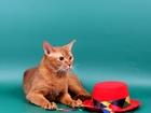 Свежее изображение Вязка Вязка-Абиссинкий кот 37726252 в Москве