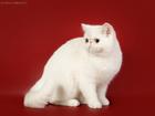 Изображение в Кошки и котята Вязка Приглашаю на вязку к роскошному экзотическому в Москве 5000
