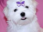 Фото в   Очаровательные белоснежные щенки (мальчики-красавчики) в Москве 25000