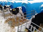 Скачать бесплатно фотографию  Продаются телята бычки мясной породы от 1-3 месяцев с доставкой в регионы бесплатной 37755141 в Усмани