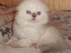 Фотография в Кошки и котята Продажа кошек и котят Голубоглазые сестрички вислоухая -10000руб в Москве 0