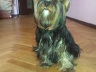 Изображение в Собаки и щенки Вязка собак Красивая умная девочка Йорка ищет мальчика в Москве 0