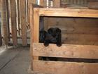 Фотография в Собаки и щенки Продажа собак, щенков Родители с родословной РКФ. Прививки по  в Ликино-Дулево 12000