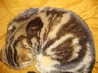 Изображение в Кошки и котята Продажа кошек и котят питомник предлагает ярко мраморную шотландскую в Москве 25000