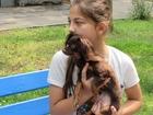 Фото в Собаки и щенки Вязка собак Нужен мальчик той терьер для вязки в Москве 0