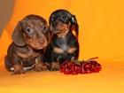 Изображение в Собаки и щенки Продажа собак, щенков Щенки таксы мини. родословная РКФ. Полный в Москве 0