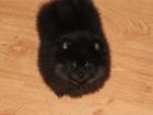 Фото в Собаки и щенки Продажа собак, щенков Щенки клубные , привиты родословная ркф , в Москве 25000