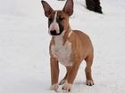 Фото в Собаки и щенки Продажа собак, щенков Знаменитый племенной питомник предлагает в Москве 45000