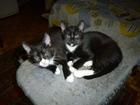 Изображение в Кошки и котята Продажа кошек и котят Кот с белым носиком и кошечка с с белым подбородком, в Москве 2000