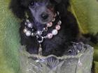 Изображение в Собаки и щенки Продажа собак, щенков Красивых здоровых очень мелких щенков Той-Пуделя в Москве 25000