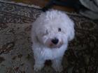 Изображение в Собаки и щенки Вязка собак 2 летний бишон, красивый, пародистый, с клеймом в Москве 0