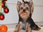Изображение в Собаки и щенки Вязка собак Ко всему приучен, чистокровный, от титулованных в Москве 20000